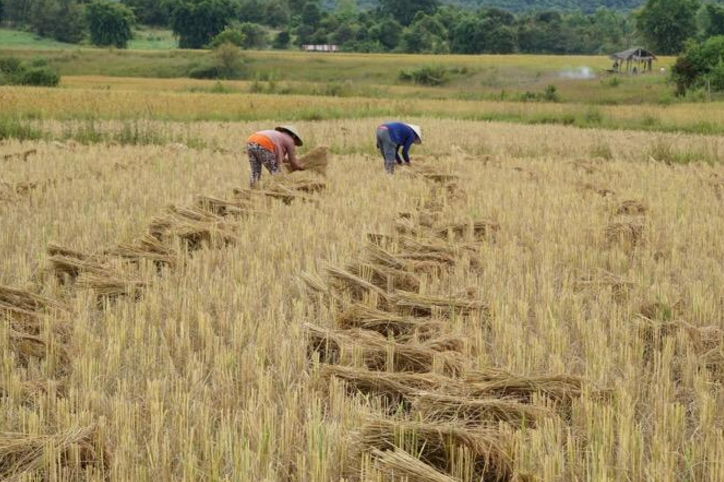 Trip Report | Shirley & Larry: Laos Rice Harvest